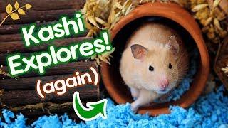 "Hamster ""Kashi"" Explores Again! | Savannah Grasslands & Desert Oasis Cage"