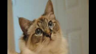 Birman Cat Photo Gallery