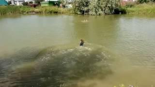 Собака Брут учится спасать тонущих на воде.