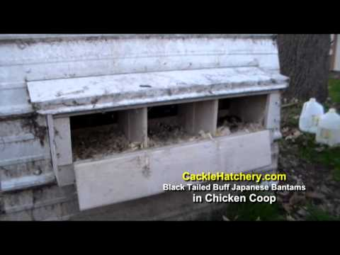 Black Tailed Buff Japanese Bantams in Chicken Coop | Cackle Hatchery