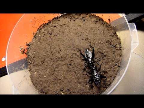 谁说加拿大的黑头蟋蟀不咬-Battle 3