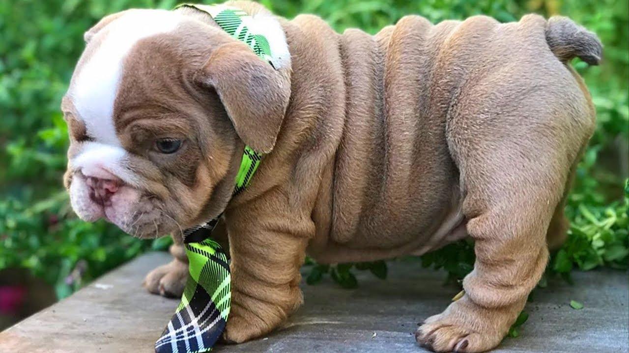 ENGLISH BULLDOG PUPPIES| Funny and cute English bulldog puppies Compilation # 08 | Animal Lovers