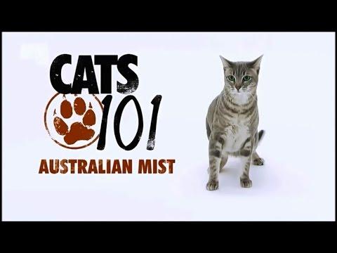 Порода кошек Австралийская мист