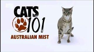 видео Австралийская кошка мист