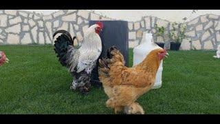 طريقة تربية دجاج البراهما