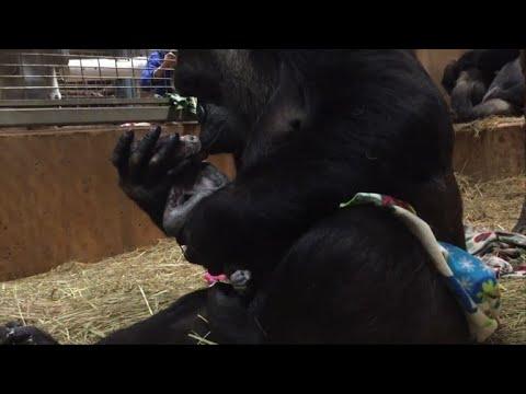 Gorilla at Washington's National Zoo gives birth