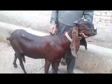Pure Nagri Goat For Sale Rate 90000/- On Youtube - Beetal