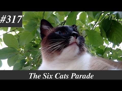 A cute Siamese cat in the wall [Natural sounds]