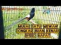 Murai Batu Mewah Bongkar Isian Kenari Speed Rapat  Mp3 - Mp4 Download