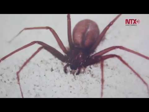 Mexicanos Desarrollan Antídoto Para Mordedura De Araña