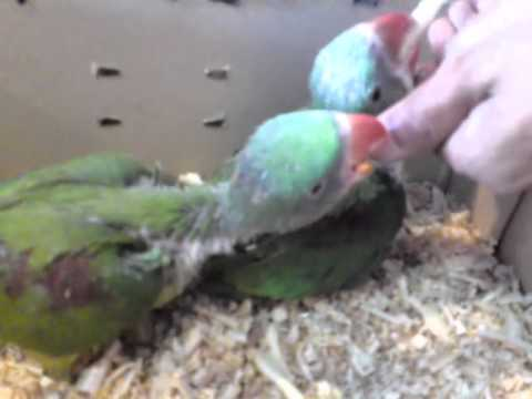 Alexandrine Parrot Baby Feed YouTube