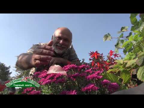 Хризантема мелкоцветковая, пересадка из сада в горшок, длительное цветение дома, фитонцидная