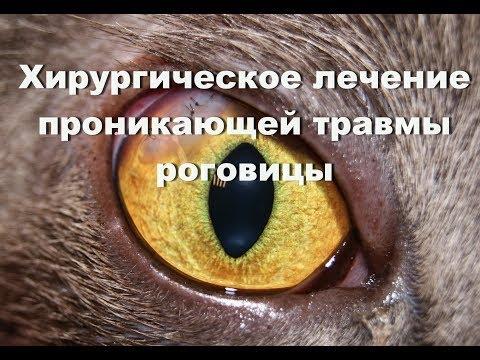 Хирургическое лечение проникающей травмы роговицы у кота