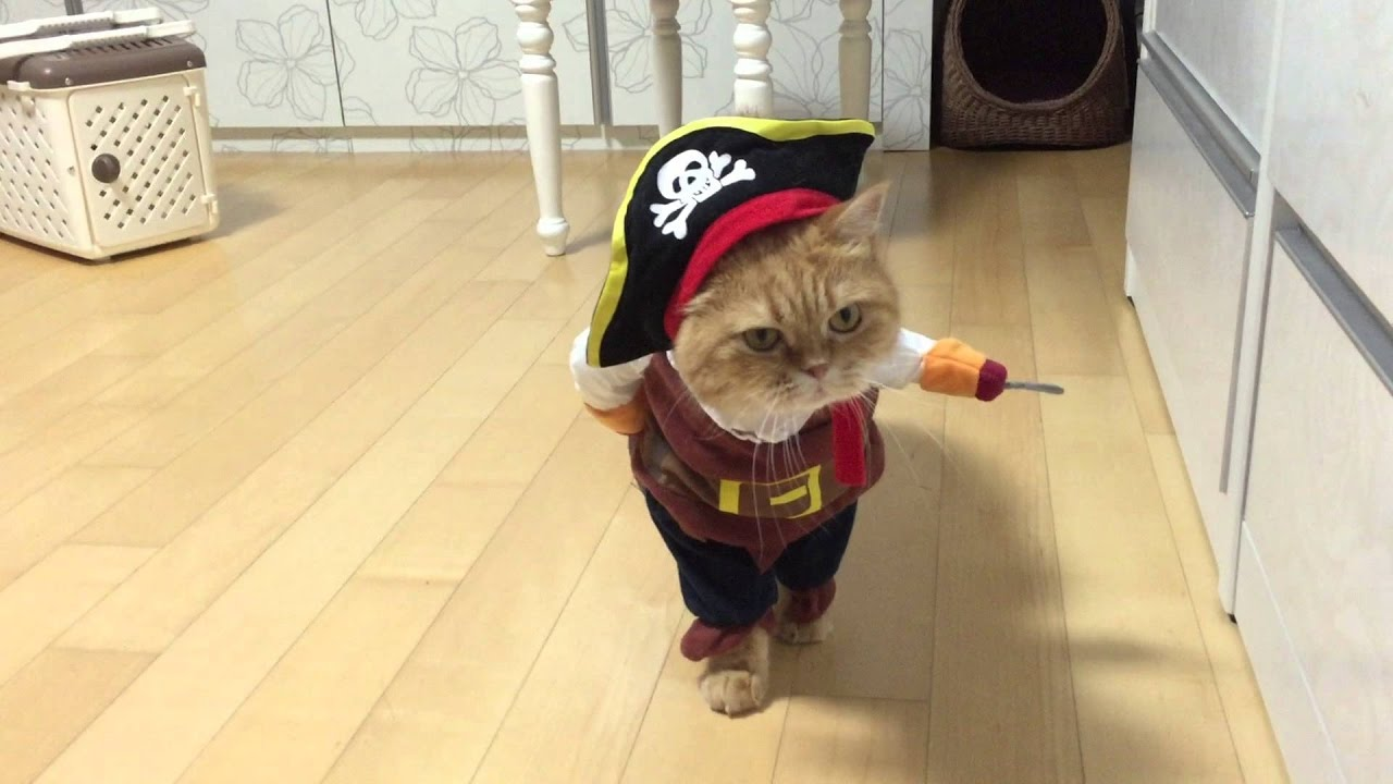 ba3063dc9d6 The Pirate Cat - The Cute Kitty in Pirate Costume - YouTube