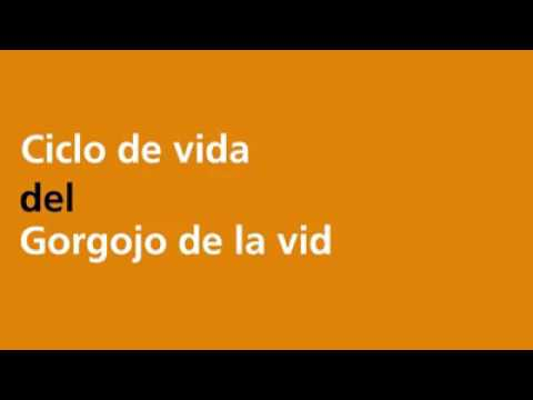 Download Ciclo de vida del jorgojo de la vid.!