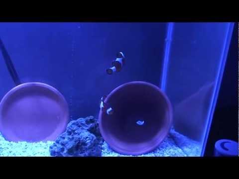 Clownfish Breeding Set Up