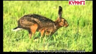 Κυνηγι λαγου στην χαλκιδικη απο το DVD ΕΘΝΟΣ ΚΥΝΗΓΙ, BEAGLE TSIRKOUDIS