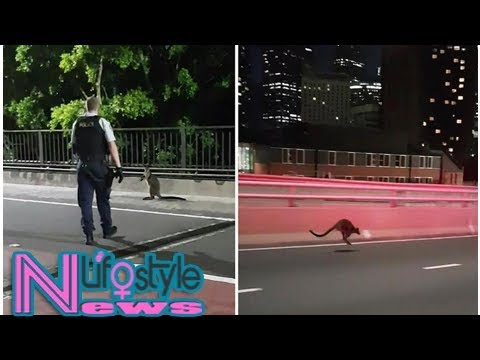Police chase wallaby on sydney harbour bridge