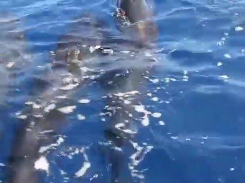 Mediterranean Pilot Whales (Captain Baleines)