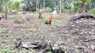 Pikat ayam hutan ( Pikatku tewas di laman )
