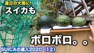 SUICAの達人2020【プランターでスイカが作れる!家庭菜園】(12)連日の大雨にスイカもボロボロ。  7/ 11