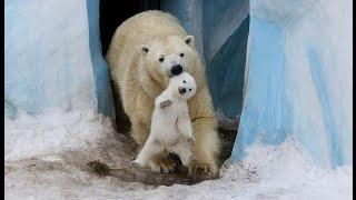 Новосибирские белые медведи, в зоопарке пополнение. White bears in the Novosibirsk zoo