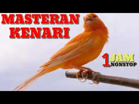 Download Lagu #kenari#murai#lovebird Kenari Masteran Lovebird Juara Durasi Panjang Full Isian Cengkok Mewah