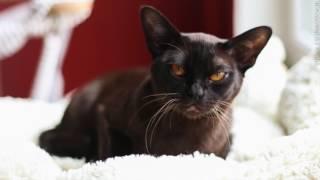 БУРМА - разговор с заводчиком и про фотографирование кошек