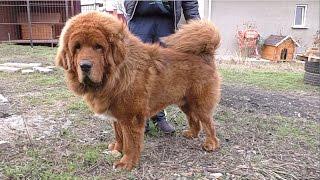 СОБАКА-ЛЕВ. Тибетский Мастиф. Dog - lion. Tibetan Mastiff Galsan (14 months.).Одесса.