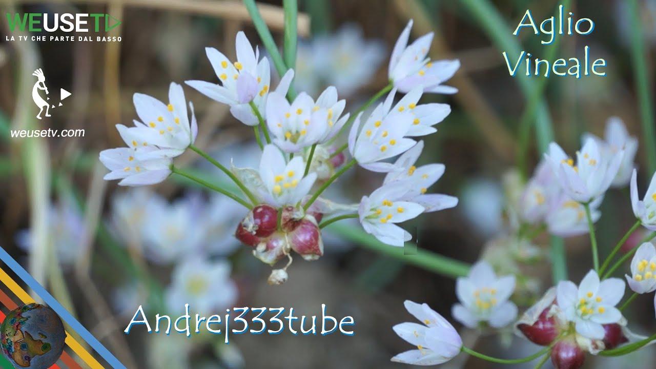 Fiori E Piante Commestibili allium roseum (aglio selvatico commestibile) - erbe spontanee e piante  selvatiche