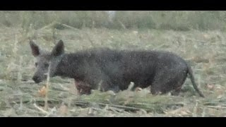 Chupacabra sightings Video Pics of a live Chupacabra Caught on tape 2013 #Chupacabra