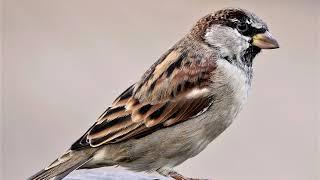 Burung gereja, Burunggereja Rumah, Burung-gereja Rumah Bernyanyi - Passer Domesticus