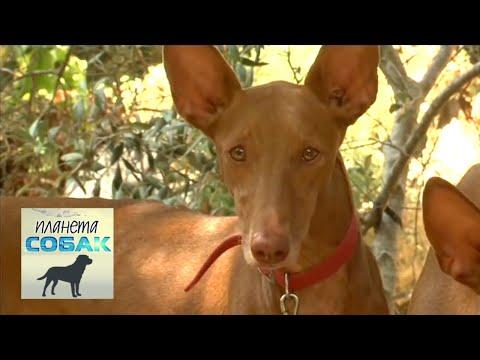 Фараонова собака. Планета собак �� Моя Планета