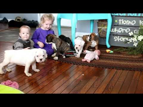 Boxer puppies for sale David Riehl