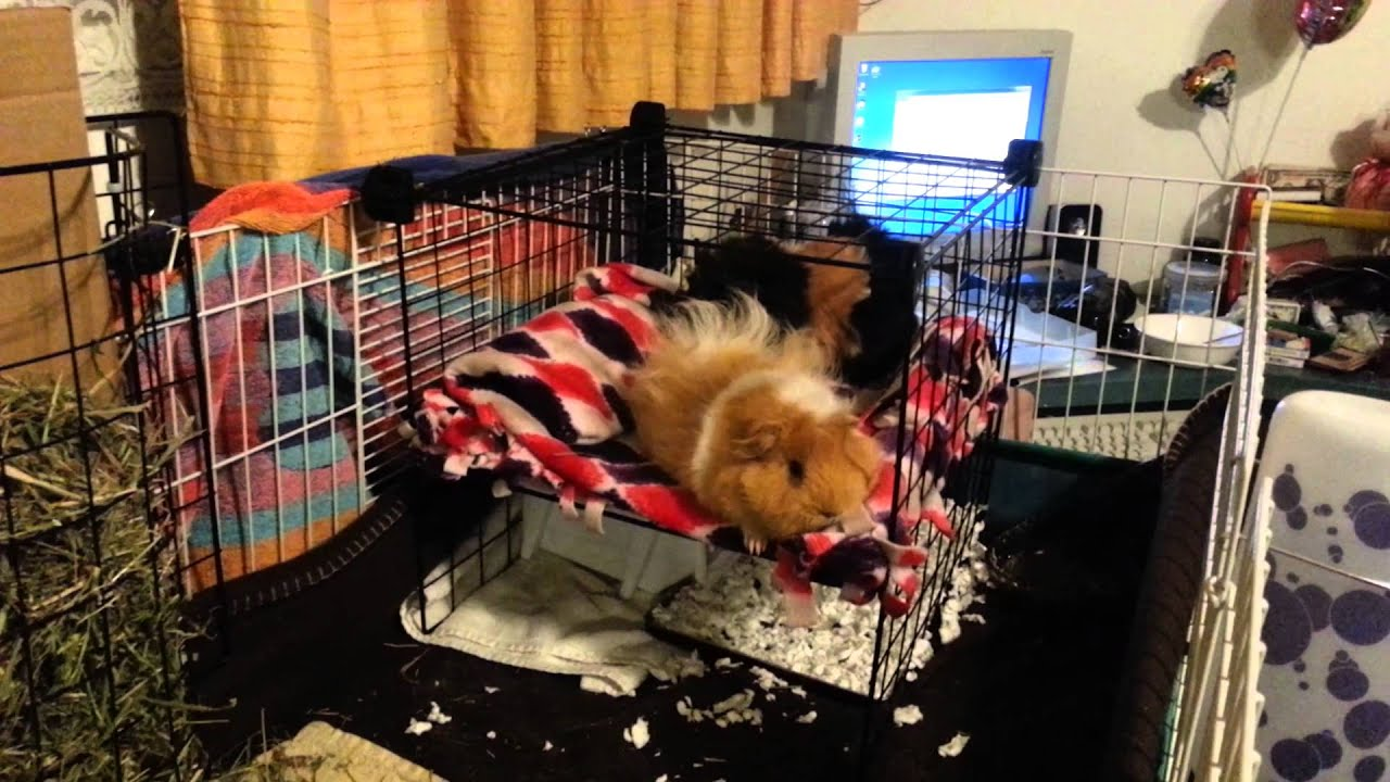 Diy Bunk Bed For My Guinea Pigs Youtube