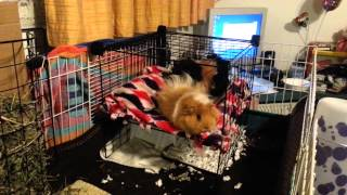 Diy Bunk Bed For My Guinea Pigs