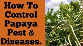 Papaya Virus Leaf Curl virus,papita,boppayi,पपीते खेती में वायरस पूरे जानकारी और रोगों का नियंत्रण