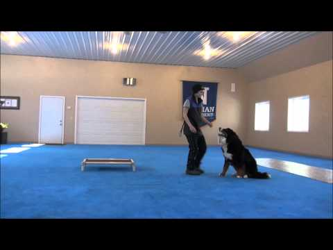 Obi (Bernese Mountain Dog) Advanced Obedience Training
