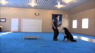 Obi (bernese Mountain Dog) Advanced Obedience Training