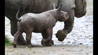 منوعات الآن | ولادة وحيد القرن الأسود المهدد بالانقراض