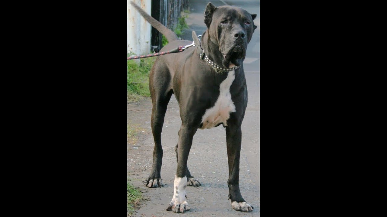 Bully Dog 40420 >> Agressive Bully Dog 40420 Black Pure Bully Kutta Youtube