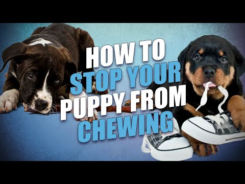 how-to-stop-a-puppy-from-chewing-everything---5-effective-tips