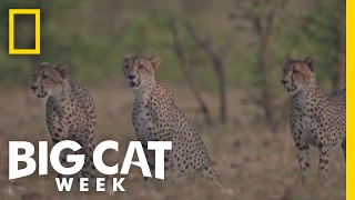 Young Cheetahs Learn a Lesson | Big Cat Week