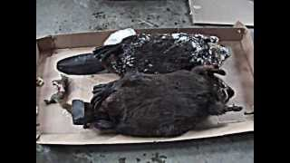 Beaver Trapping Results and A Bushytail Down! Thumbnail