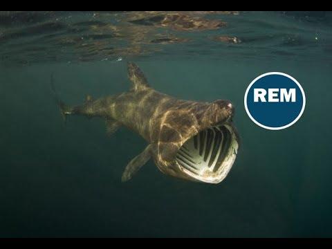 Tiburón peregrino - YouTube