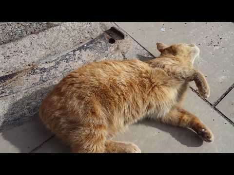 Isle of Man - Manx Tailless Cat in Peel