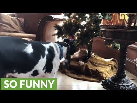 Cat guards Christmas tree from Great Dane puppy