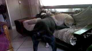 Great Dane Vs Sharpei Playing