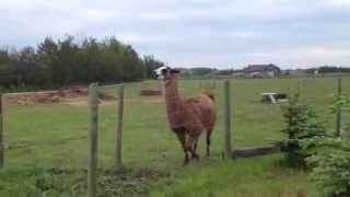 What noise does a llama make?