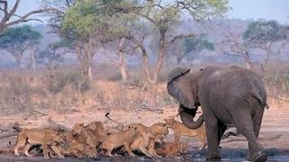 ジャングルの王である、すべての後に - 象対ライオンズ ジャングルの王...